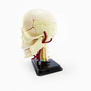 Anatomia del Cráneo